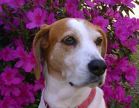 close up of white and brown dog in front of purple flowers